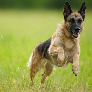 German Shepherd dogs and puppies for sale Miami South Florida
