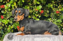 Daisy - smooth coat