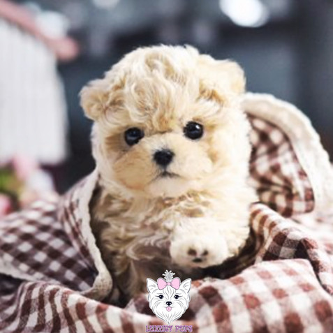 Chi-Poo - male - $7,200