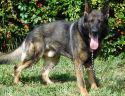 Ares Rebelling sable German Shepherd _0222