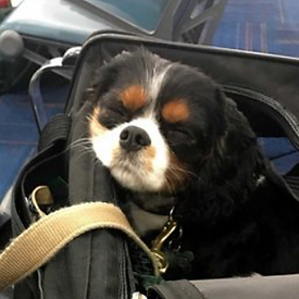 Cavalier King Charles traveling in canin