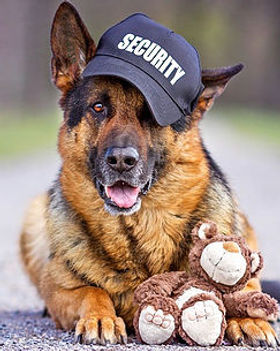 German Shepherd security dog