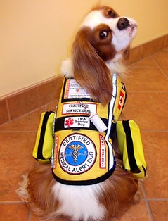 Cavalier King Charles service dog.jpg