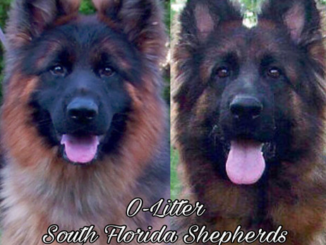 Upcoming Long Coat German Shepherd Dog Puppies for sale by World Class German Shepherd Breeder