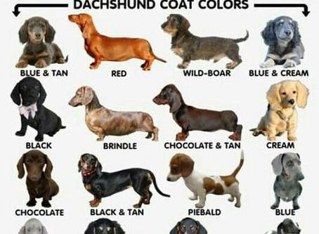 Dachshund Colors
