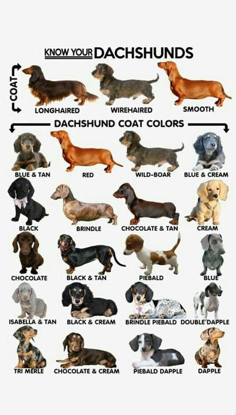 Dachshund colors.jpg