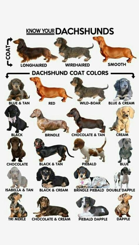 Dachshund Colors