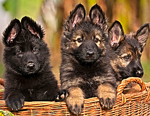 German Shepherd Puppies For Sale - Buy Only From Experienced Breeders