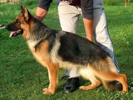 History Of The German Shepherd Dog