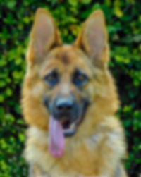 Imported German Shepherd Miami, Rona Vom Team Carrera