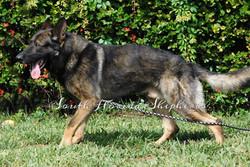 Ares Rebelling sable German Shepherd _0223