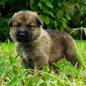 Lifelong Loyalty, Love and Much More: Get German Shepherd Puppies for Sale