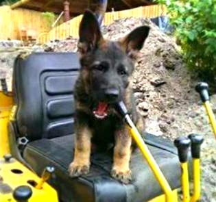 Driving German Shepherd puppy