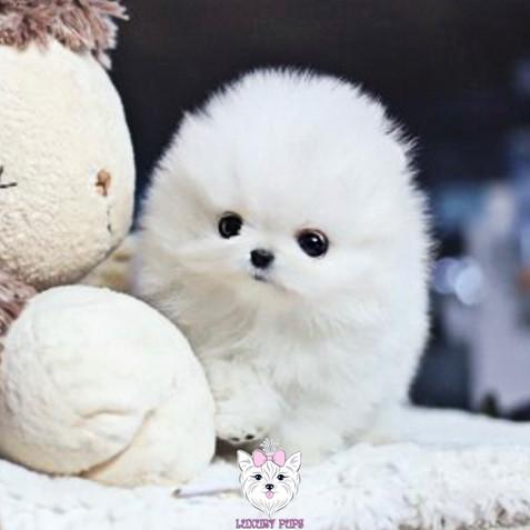 Pomeranian - male -$9,850