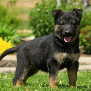 German-Shepherd-300x300