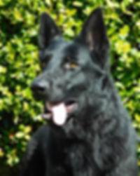 Adell Van Rossland Miami German Shepherd
