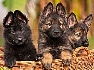 German Shepherd Puppies For Sale 1 German Shepherd Breeder Miami