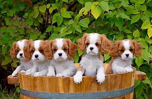 World Class Cavaliers, Cavalier King Charles Spaniel breeder