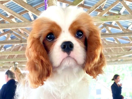 What actually goes into the cost of a puppy from a reputable Cavalier King Charles Spaniel breeder?