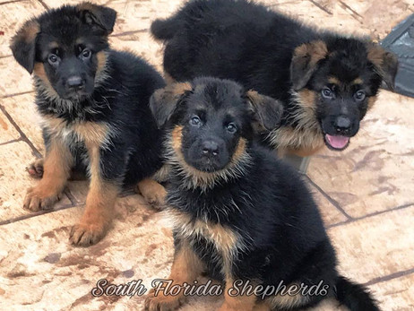 Contact The German Shepherd Breeders In Miami If You Are Looking For A Great Family Companion