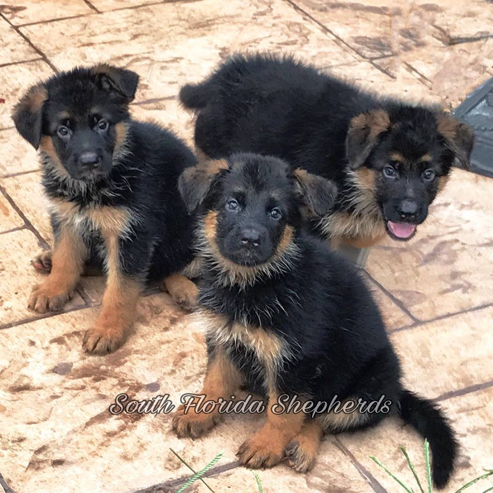 German Shepherd breeder in Miami