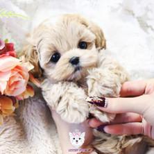 Poodle - female - $7,900