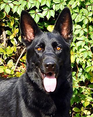 Xena Von Schwab an der Fils German Shepherd