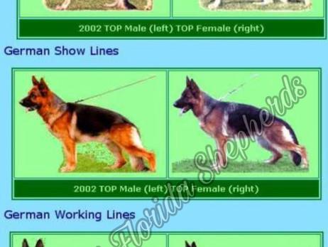 Show Line vs. Working Line German Shepherd Dog