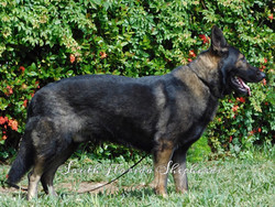 Jax Vom Icer black sable German Shepherd  Rebelling czech German Shepherd _0232
