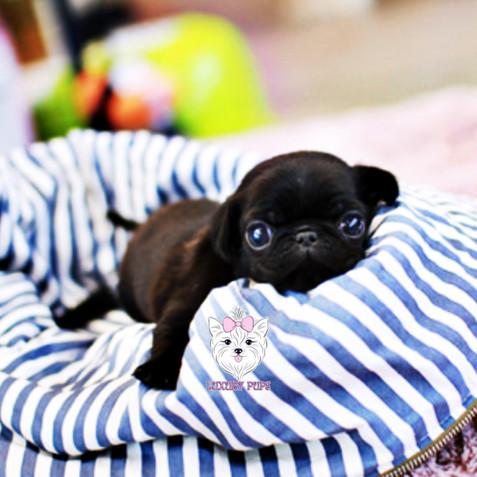 Pug - male - $3,900