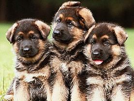 Longhair German Shepherd puppies