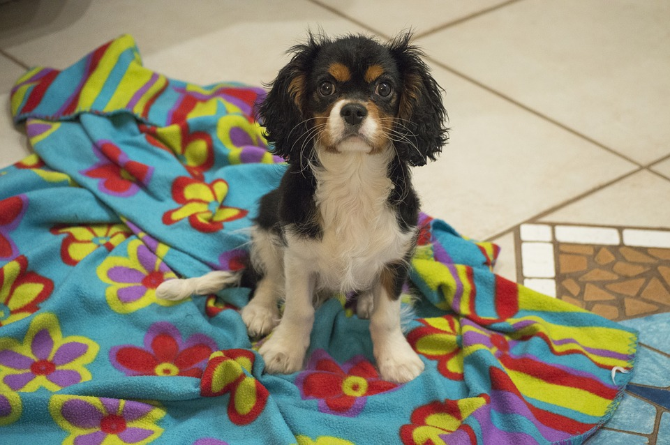 How To Potty Train A Cavalier King Charles Spaniel