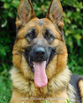 Imported German Shepherd