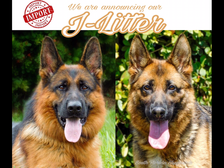 AKC German Shepherd puppies for sale!