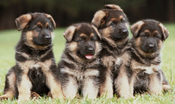 4-GSD-Puppies-GSC