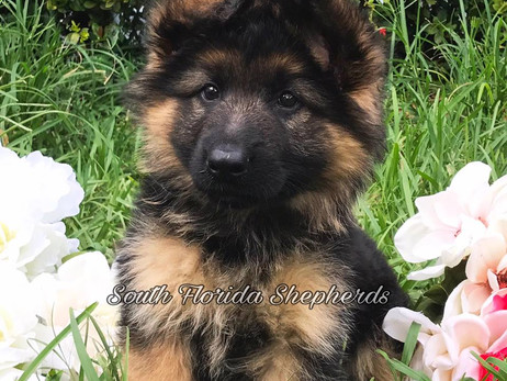 South Florida Shepherds: The Best Online Source To Buy German Shepherd Puppies For Sale In Tampa