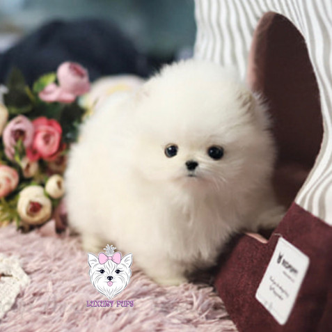 Pomeranian - female -$9,850