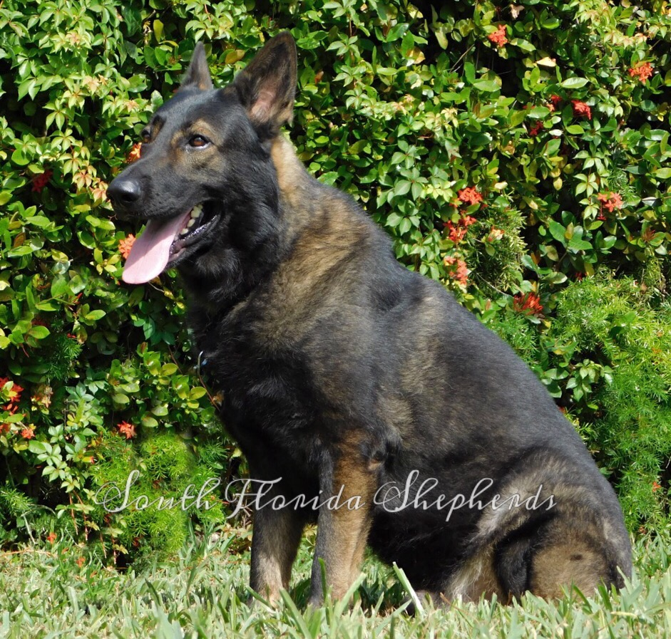 Jax Vom Icer black sable German Shepherd  Rebelling czech German Shepherd _0229