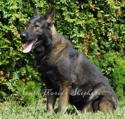 Jax Vom Icer black sable German Shepherd  Rebelling czech German Shepherd _0229