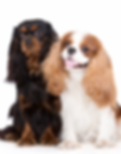 Cavalier King Charles breeder Miami South Florida