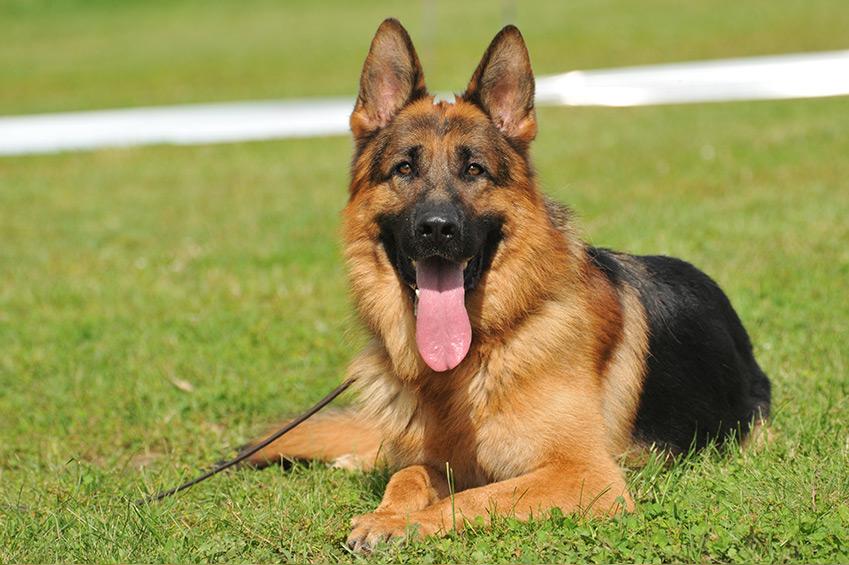 Deutscher-Schäferhund