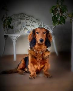 Buddy - Dachshund breeder CDPA