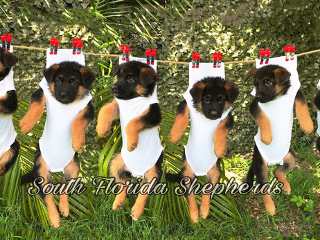 German Shepherd Puppies For Sale From Imported Champion Bloodline