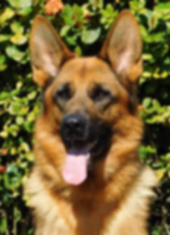 Quoran Von Bellissimo IPO1, BH, KKL1 Imported German Shepherd dog black and red