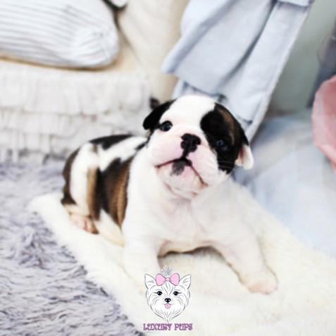 Olde English Bulldog - male - $5,400