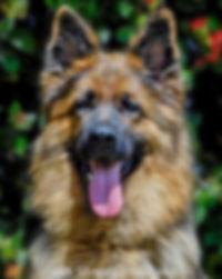 Imported German Shepherd , Tiana Vom Haus Gilice