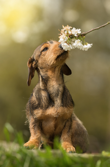 Spring Tips for your Dachshund Dog and Puppy
