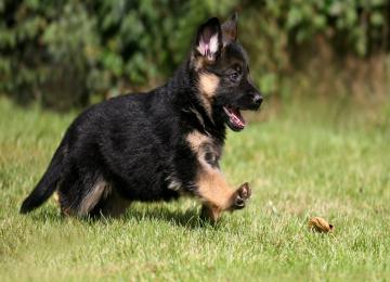 adorable-german-shepherd-puppy-wallpaper-824-914-hd-wallpapers-thumb