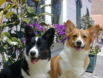 What's the difference between Pembroke and Cardigan Welsh Corgis?
