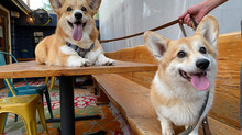 Spring Tips for your Corgi Dog and Puppy